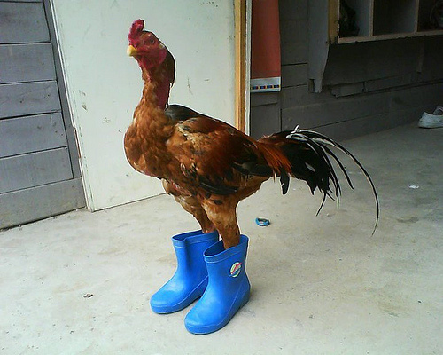 Image result for chickens with boots