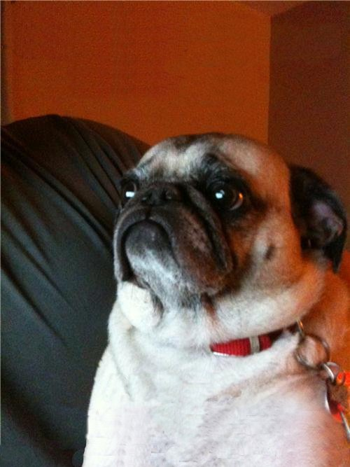 Irti Funny Picture 810 Tags Pug Dog Unhappy Sad