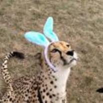 Radnom funny picture tags: Cheetah bunny-ears easter rabbit cat