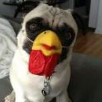 Radnom funny picture tags: Pug dog chicken mask costume