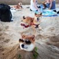 Radnom funny picture tags: Shiba-inu beach burried sand head