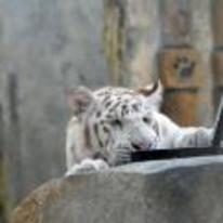 Radnom funny picture tags: YOSPOS white-tiger laptop toughbook zoo