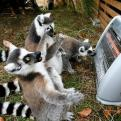 Radnom funny picture tags: amazed heater lemur  warm shocked