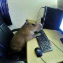 Radnom funny picture tags: capybara no-one-knows on-the-internet using-computer giant-hamster