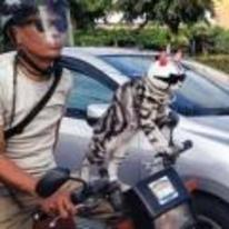Radnom funny picture tags: cat-riding-motorbike helmet-and-shades cool japan chill