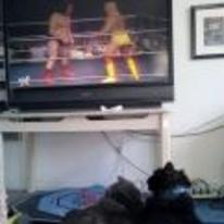 Radnom funny picture tags: cats wrestling watching hulk-hogan andre-the-giant