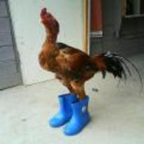 Radnom funny picture tags: chicken-wearing-boots chicken-wearing-wellington-boots chicken wellington-boots blue-boots
