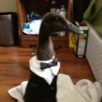 Radnom funny picture tags: classy duck tuxedo suit tie