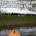Radnom funny picture tags: cows river nothing-to-see-here moove along