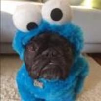 Radnom funny picture tags: dog pug cookie-monster costume muppet