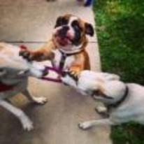Radnom funny picture tags: dog-trying-to-break-up-fight stop-fighting peacemaker dog fight