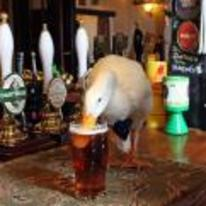 Radnom funny picture tags: duck-drinking-beer duck-in-pub bar drinking-beer duck