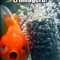 Radnom funny picture tags: ermahgerd berbles shocked goldfish bubbles