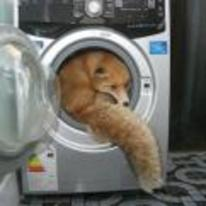 Radnom funny picture tags: fox washing-machine washer chaos-reigns YOSPOS