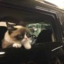 Radnom funny picture tags: grumpy-cat car window cruising riding