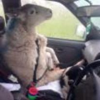 Radnom funny picture tags: happy-sheep in-car seatbelt sheep-belt car-seat