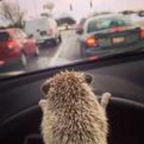 Radnom funny picture tags: hedgehog driving car stearing wheel