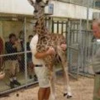 Radnom funny picture tags: how-to-weigh-a-giraffe giraffe holding baby-giraffe zoo