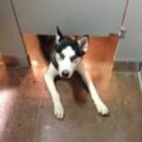 Radnom funny picture tags: husky watching-you-poop bathroom toilet looking-under-door
