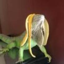 Currently trending funny picture tags: iguana banana-on-head majestic lizard proud