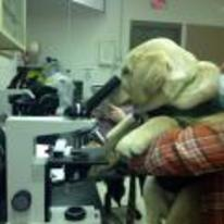 Radnom funny picture tags: labrador dog doing science microscope