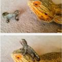 Radnom funny picture tags: little-lizard iguana on-head riding happy