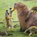 Radnom funny picture tags: monkey king groom Capybara friends