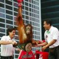 Currently trending funny picture tags: orangutan monkey belt champion belt