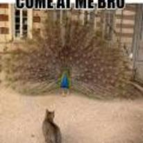 Radnom funny picture tags: peacock cat come-at-me-bro feathers bird