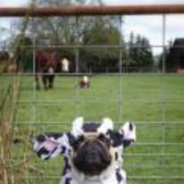 Radnom funny picture tags: pug cow costume field cows