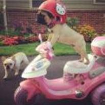 Radnom funny picture tags: pug hello-kitty helmet riding bike