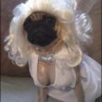 Radnom funny picture tags: pug marilyn-monroe costume wig dress