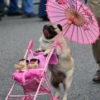 Radnom funny picture tags: pug pram umbrella pink dog