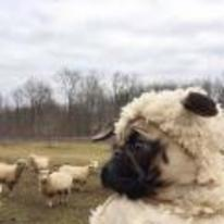 Radnom funny picture tags: pug sheep pug-sheep pug-in-sheep-costume sheep-dog