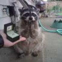 Radnom funny picture tags: raccoon propose marriage ring OMG