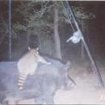 Radnom funny picture tags: raccoon riding bore caught camera