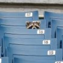 Radnom funny picture tags: raccoon sitting-in-stand watching-the-game baseball watch