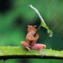 Radnom funny picture tags: sad frog rain leaf umbrella