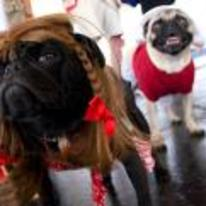 Radnom funny picture tags: serious pug costume face so-proud