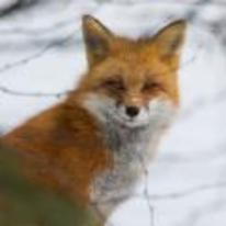 Radnom funny picture tags: smug fox snow smirk smile