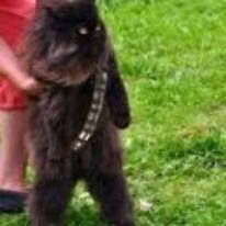Radnom funny picture tags: star-wars cat wookie chewbacca belt