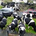 Currently trending funny picture tags: suddenly cows everywhere street england