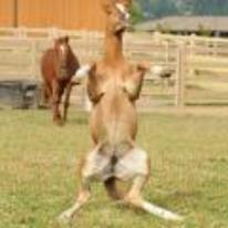 Radnom funny picture tags: weird horse standing back-legs hind-legs