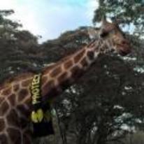Radnom funny picture tags: wutang-clan wutang giraffe wu-tang-giraffe scalf